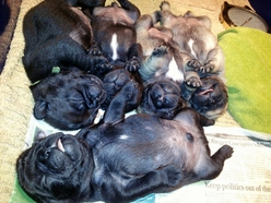 pug puppies 2 weeks