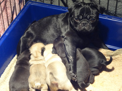 pug puppies 4 weeks