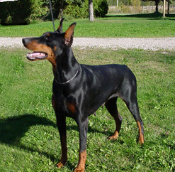 Doberman, Dobermann, Doberman Pinscher, Doberman puppy, Dobermann puppy, Doberman Pinscher puppies, Dobes, Dobies, Dobe pups, Doberman pups in Ontario, European Dobermanns, Euro Dobe, European Dobermann pups, CKC registered Doberman pups, Doberman behaviour, Doberman Health, Dobe litters, CKC registered Dobermans, Monica Peterson, Dobie pups, Doberman Pinscher, Doberman Pinscher pups, Dobermanns, Dobereich, Dobereich perm reg'd, CKC Dobermann breeder, Dobermann kennel, CKC Doberman Pinscher kennel, Dobe breeder, Dobermanns in Canada, Canadian Doberman Pinscher, Monica Peterson, Dobereich, Dobereich registered, DPCC, Doberman Health, Dobereich's Flirting with Fire
